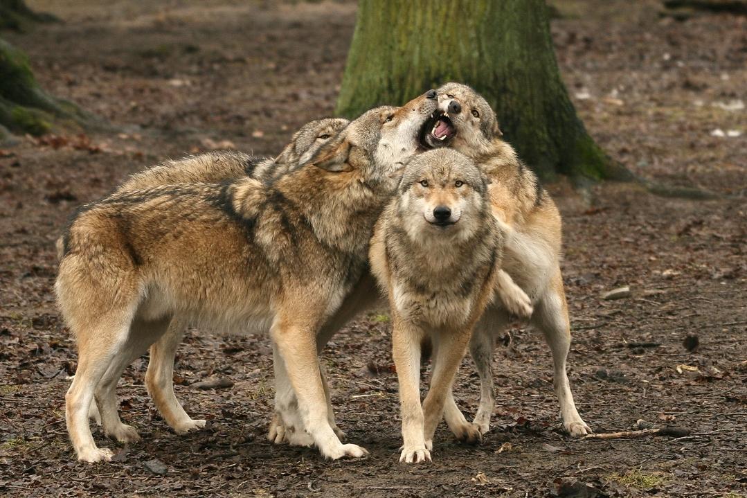 Wolfsrudel gemeinsam